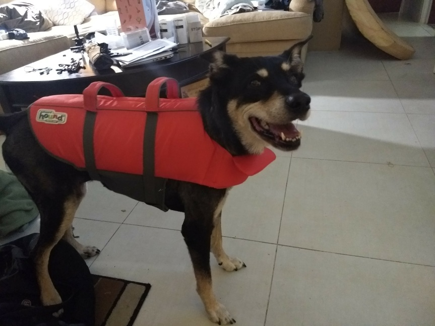 Daisy the dog in an orange, Size L Outward Hound life jacket